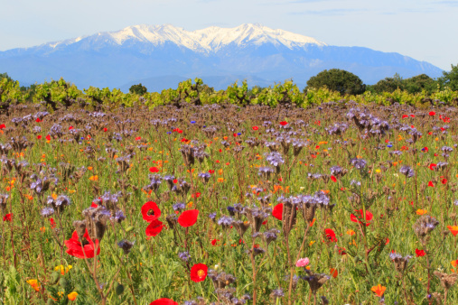 Canigou Enneigé Et Fleurs Champêtres Stock Photo - Download Image Now