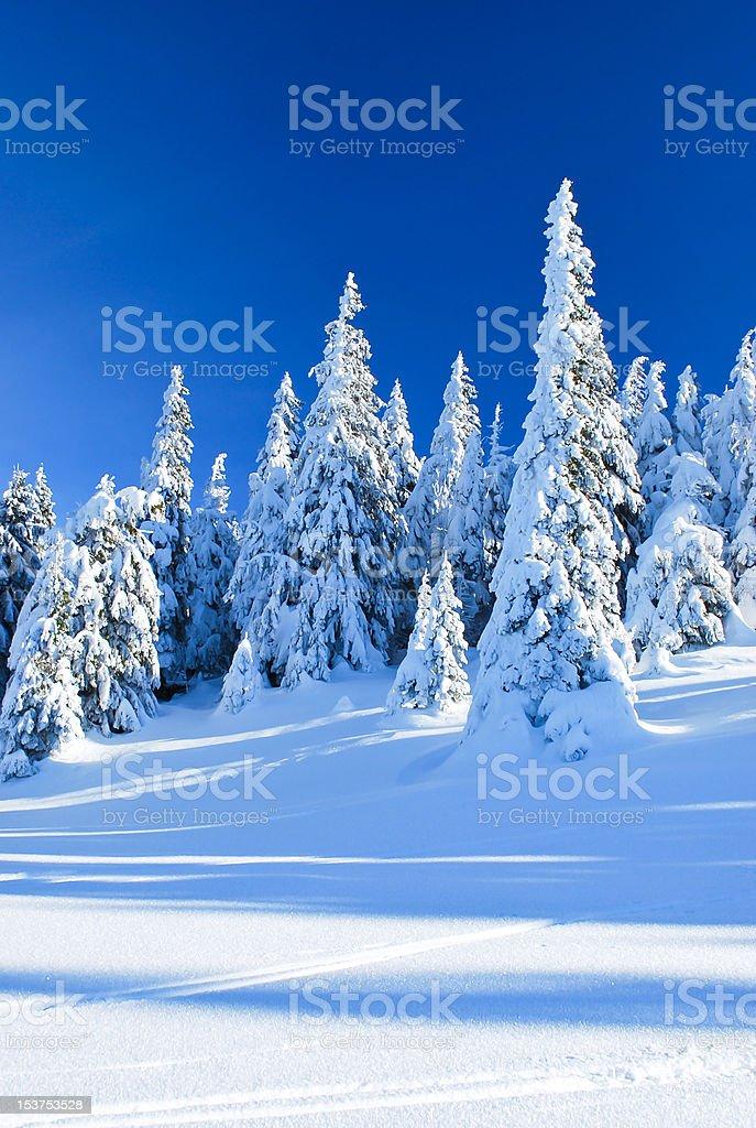 Snowy coniferous trees royalty-free stock photo