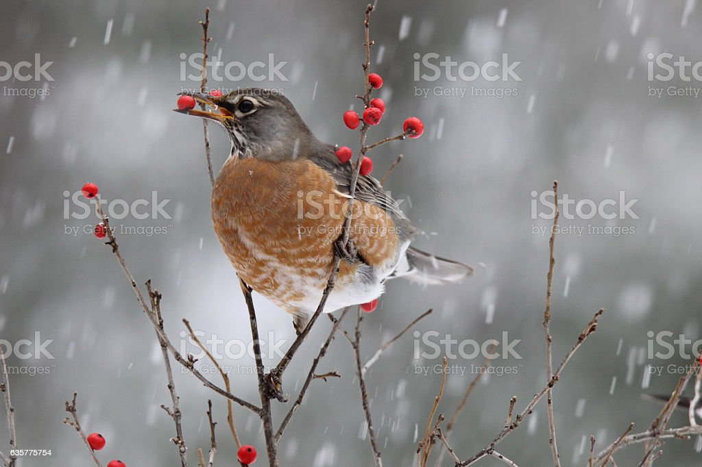 Snowy Day Robin stock photo