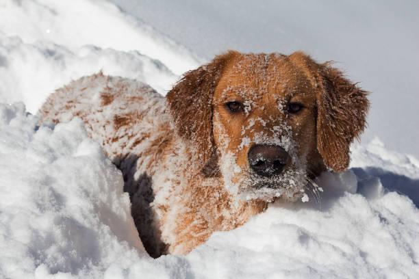 Snowy dog face playing in snow Golden Retriever Playing in the snow in Vail/Avon, Eagle County, Colorado avon colorado stock pictures, royalty-free photos & images