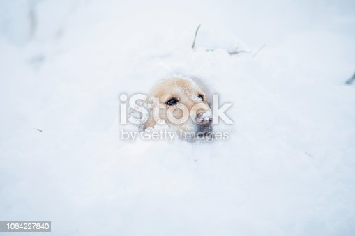 A golden retriever dog looks worried while sitting in a deep snowbank.