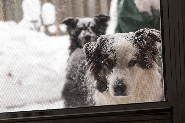 snowy dogs at the screen door stock photo