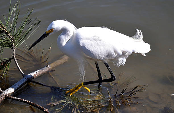 Snowy Egret 2 Snowy Egret looking for dinner, along the shoreline. neilliebert stock pictures, royalty-free photos & images
