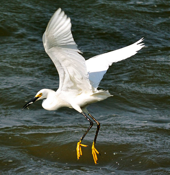 Snowy Egret 3 Snowy Egret, with some dinner. neilliebert stock pictures, royalty-free photos & images