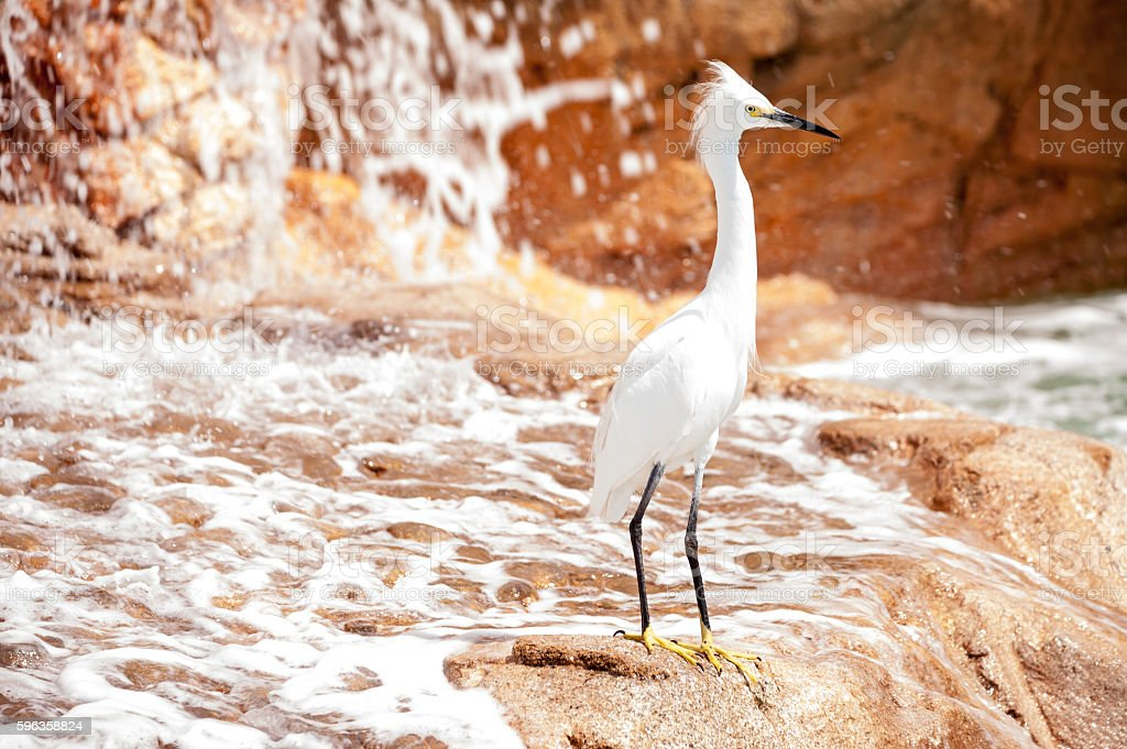 Snowy Egret at base of waterfall stock photo