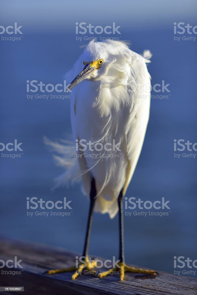 Snowy Egret at Dawn stock photo