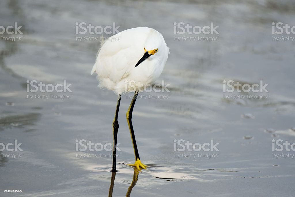 Snowy Egret at Sunset Park stock photo