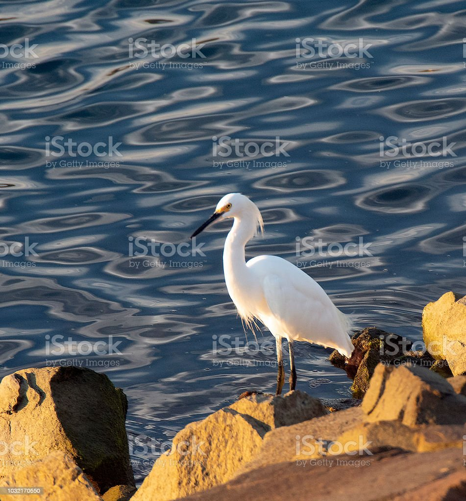 Snowy Egret At Water's Edge stock photo