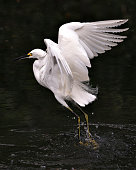 Snowy Egret bird close-up profile view flying over the water and displaying spread white wings, head, beak, eye, fluffy plumage, yellow feet in its environment and surrounding.