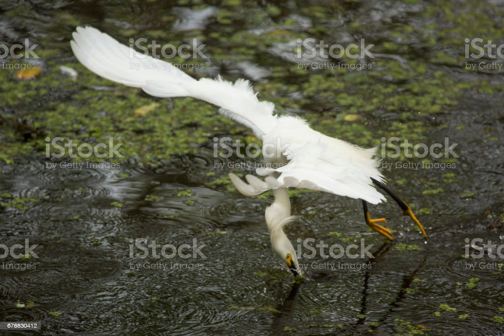 Snowy egret catching a fish in the Florida Everglades. royalty-free stock photo