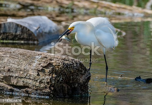 istock A Snowy Egret Catching a Fish 1183605876