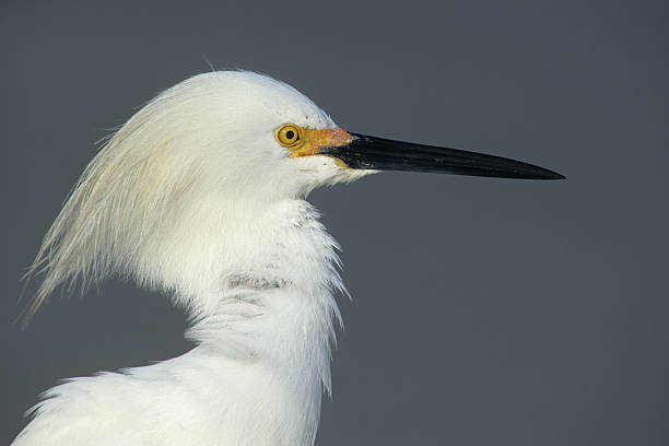 Snowy Egret Close Up stock photo