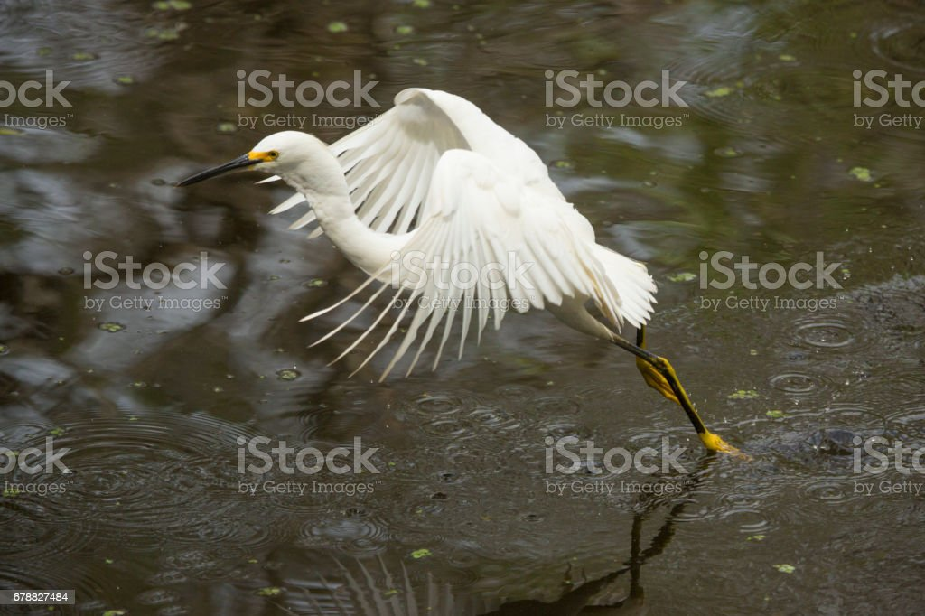 Snowy egret dragging its feet while flying in Florida's Everglades. royalty-free stock photo
