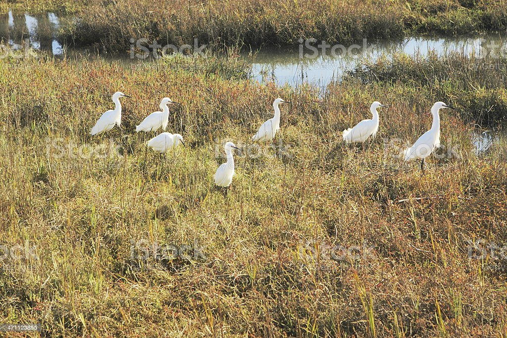 Snowy Egret Egretta thula Heron Birds royalty-free stock photo