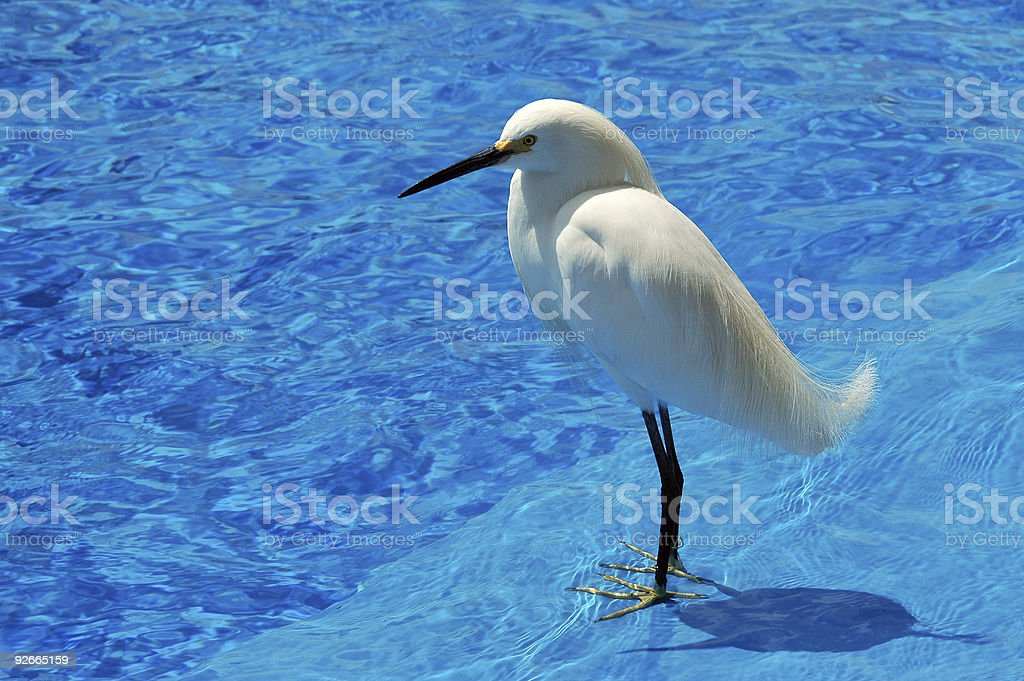 snowy egret, Egretta thula royalty-free stock photo
