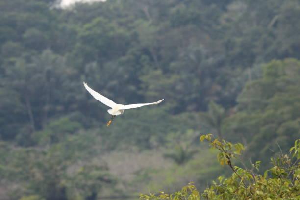 Snowy egret flying in Amazon Rainforest stock photo