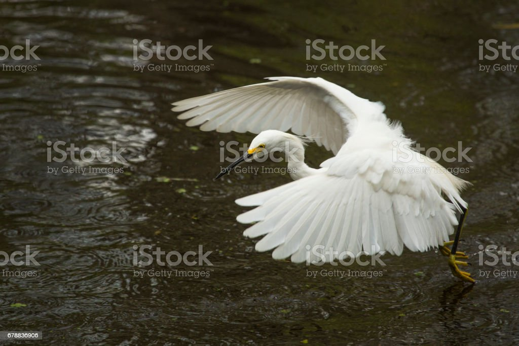 Snowy egret flying low over pond in the Florida Everglades. royalty-free stock photo