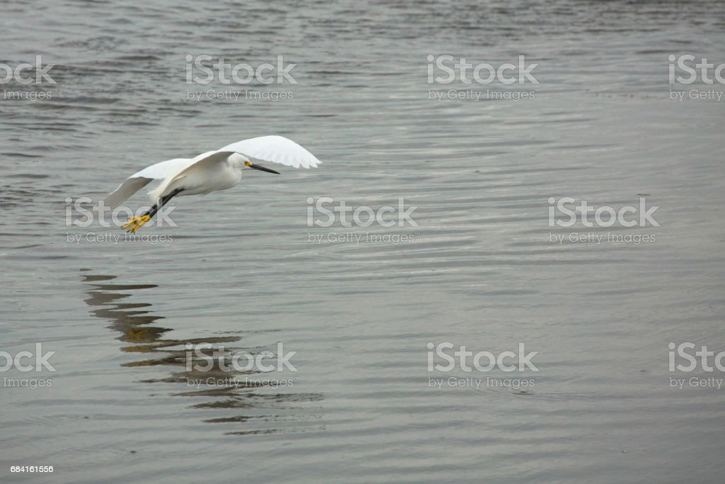 Snowy egret flying low over shallow water in Florida. royalty-free stock photo