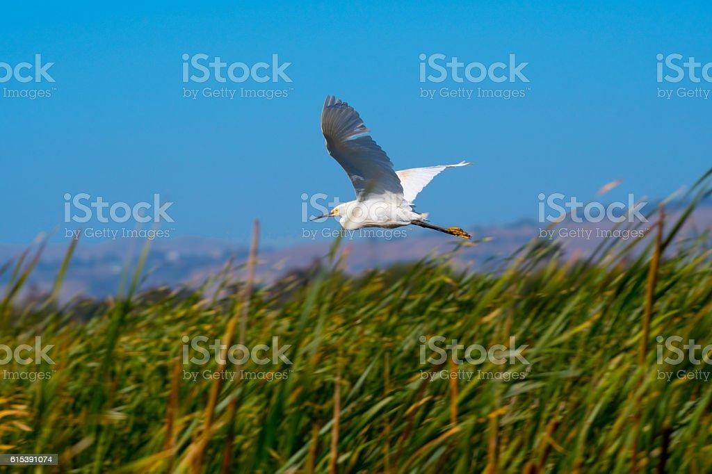 Snowy Egret flying over wetlands. stock photo