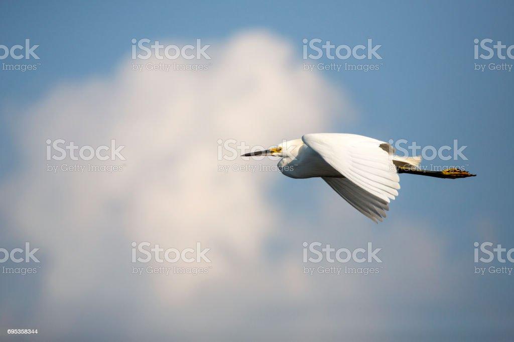Snowy egret flying past white cloud at Merritt Island, Florida. stock photo