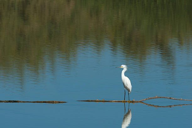 Snowy Egret forages for food stock photo