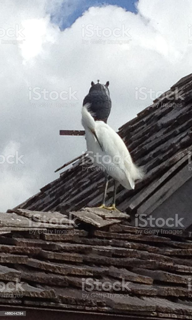 Snowy egret grooming itself, with metal owl in background stock photo