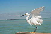 Snowy Egret, flying