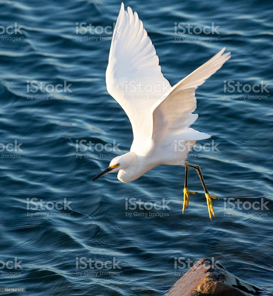 Snowy Egret In Canal stock photo