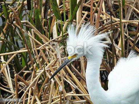 Snowy Egret with fluffy feathers