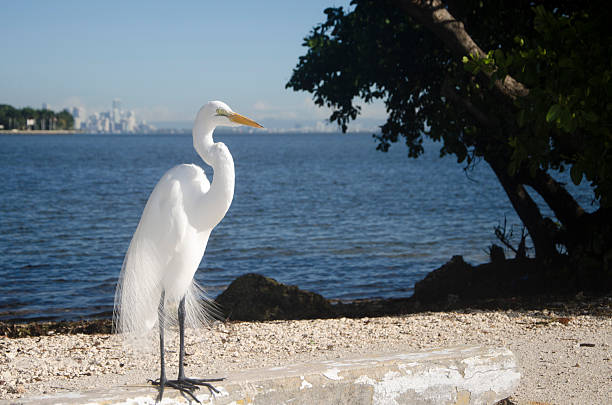 Snowy Egret in Miami stock photo