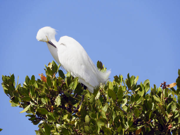 Snowy Egret in the Tree stock photo