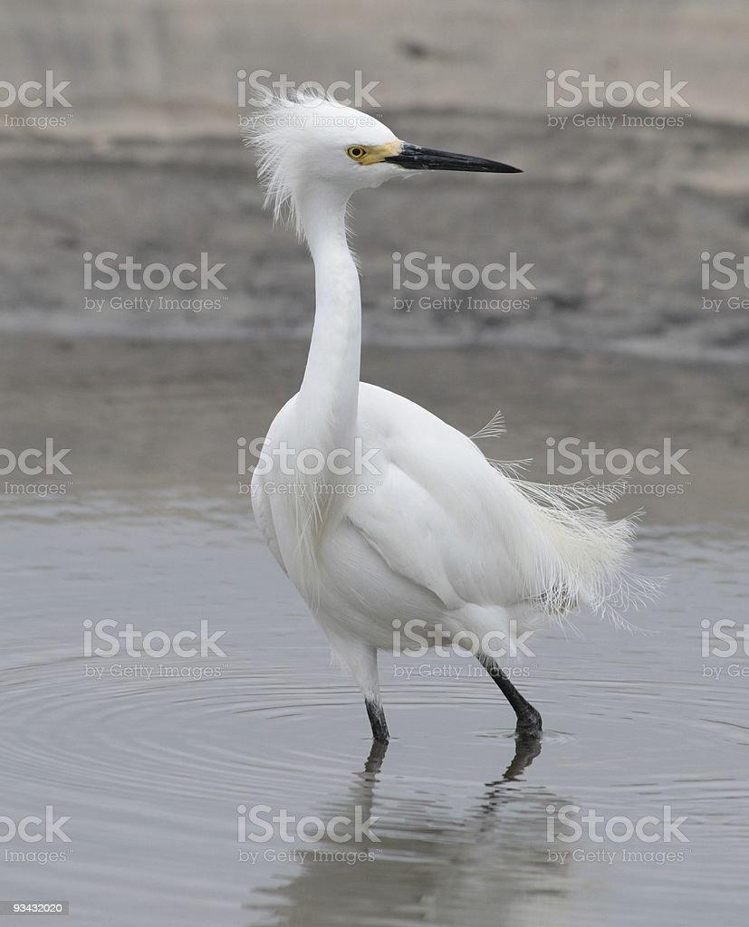 Snowy egret (Egretta Thula), Jekyll Island Georgia, USA stock photo