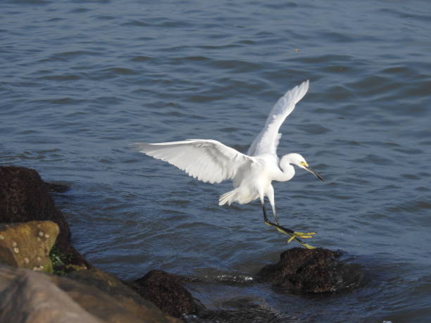 Snowy egret landing in the water stock photo
