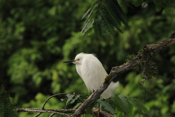 Snowy egret perched in Amazon Rainforest stock photo