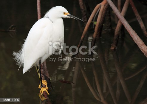 Snowy Egret Closeup perched on branch in Mangrove swamp.  Great detail of head, feathers, and feet.