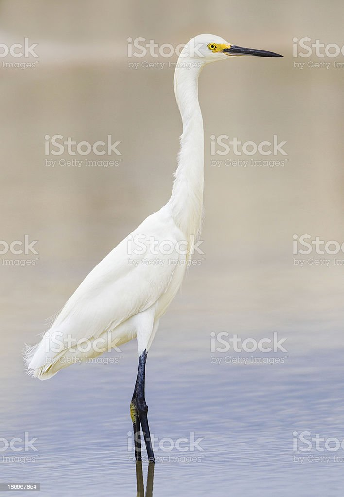 Snowy Egret royalty-free stock photo