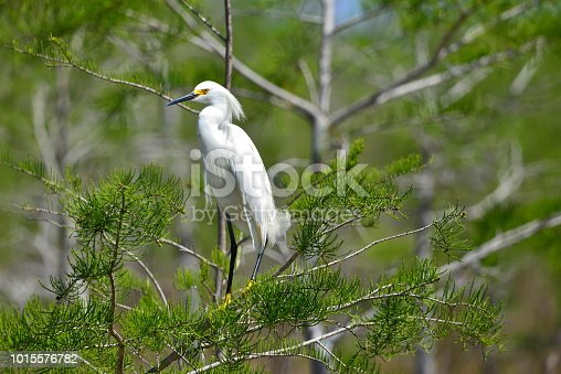 A snowy egret perches in a tree in Everglades National Park.