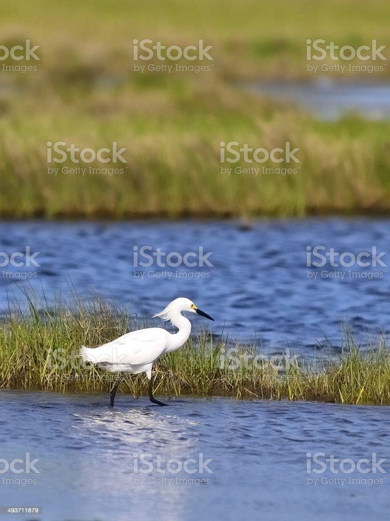 Snowy Egret Stalking stock photo
