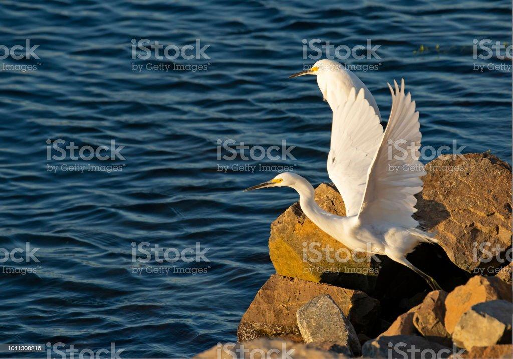 Snowy Egret Taking Flight stock photo