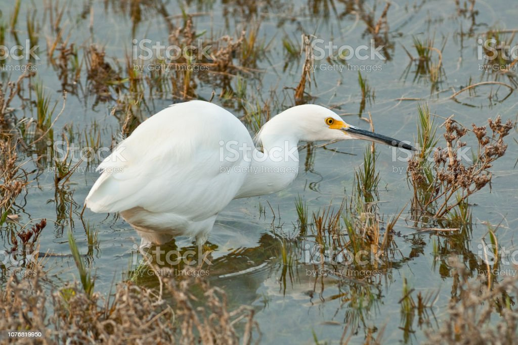 Snowy Egret Wading in a Marsh stock photo
