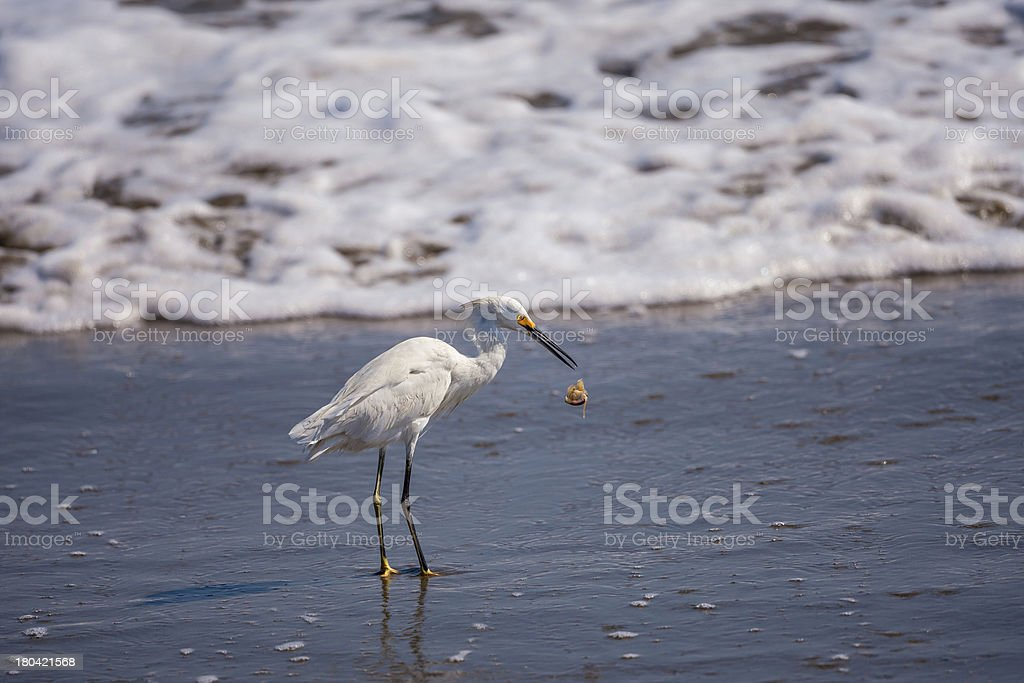 Snowy Egret with a large sand crab royalty-free stock photo
