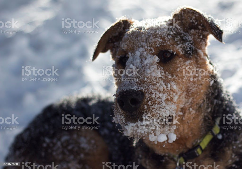 Snowy faced Airedale Terrier stock photo