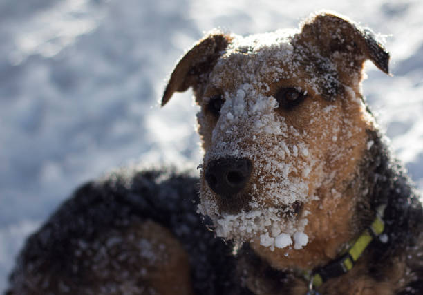 Snowy faced Airedale Terrier Playing in the snow in Vail/Avon, Eagle County, Colorado avon colorado stock pictures, royalty-free photos & images