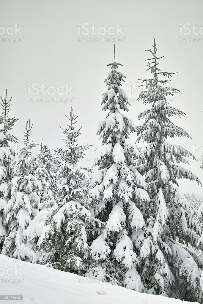 snowy fir in landscape with mist royalty-free stock photo