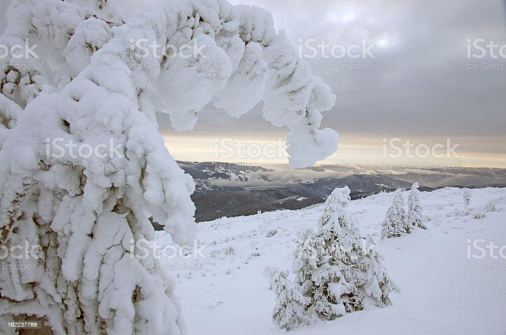 Snowy fir royalty-free stock photo
