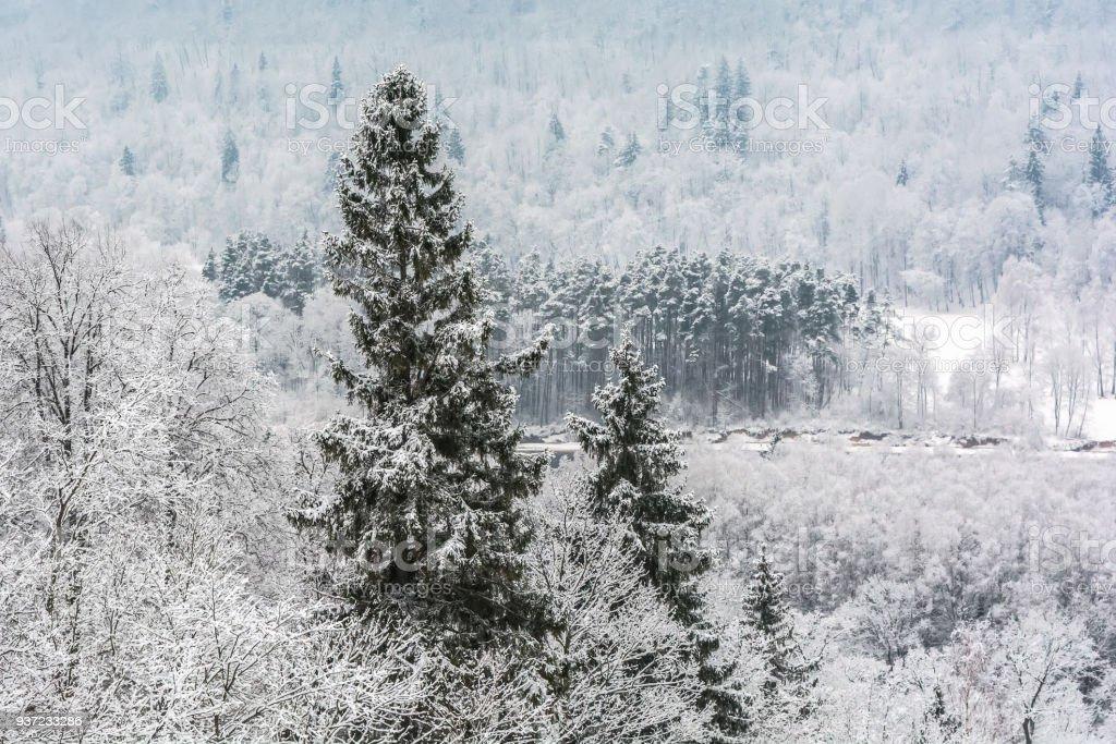 Snowy fir tree stock photo