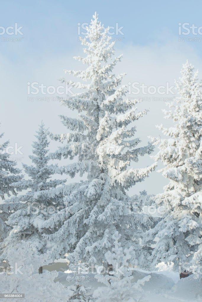 A snowy fir tree. Winter frost tree. - Zbiór zdjęć royalty-free (Bez ludzi)