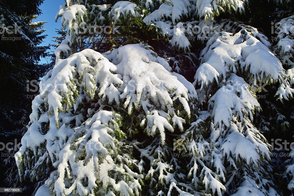 snowy fir with first snow royalty-free stock photo