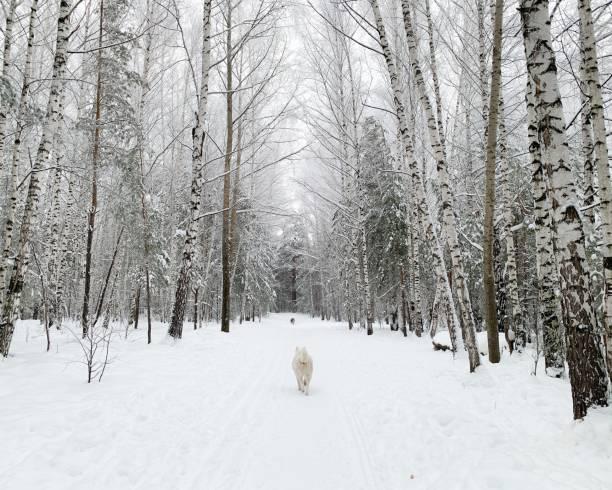 Snowy Forest – zdjęcie