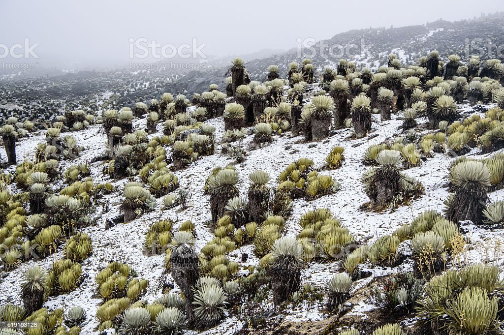 Snowy Frailejones stock photo